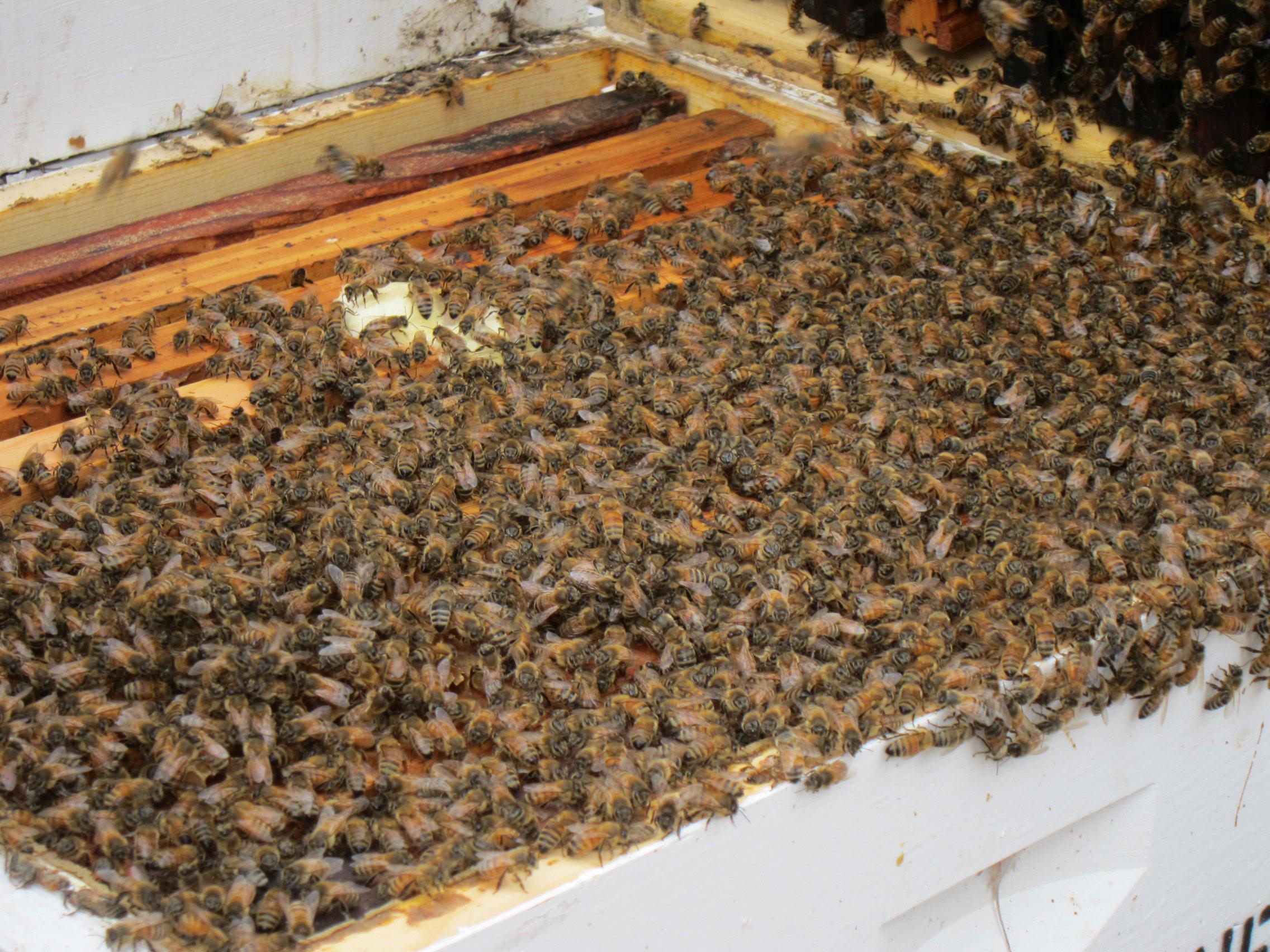 Insight: Bee Die-Off / First Responder PTSD / Fiddler Hanneke Cassel