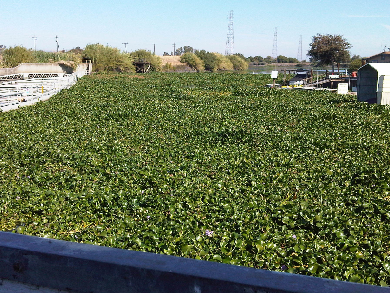 Water Hyacinth In The Delta Capradio