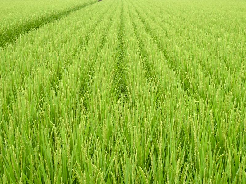 Insight Usda Visit Genetically Engineered Rice Uc Davis Die In