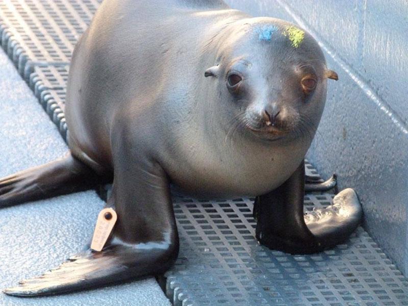 Sausalito center helps rescue sick sea lion pups capradio publicscrutiny Images