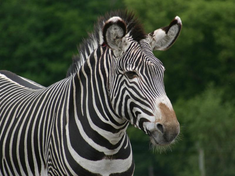 Why Zebra Have Stripes - capradio org