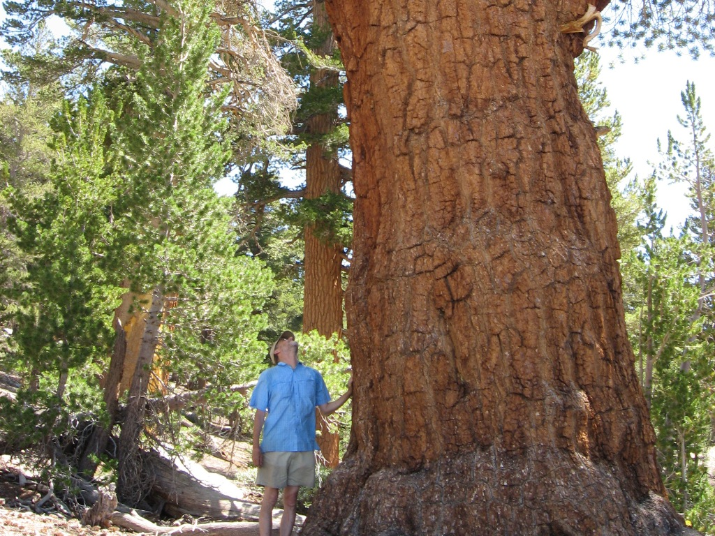 A western white pine in Kings Canyon National Park, Ca, towers over USGS ecologist Nathan Stephenson.